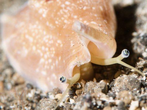 貝のギョロ目
