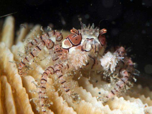 Boxer Crab、キンチャクガニ