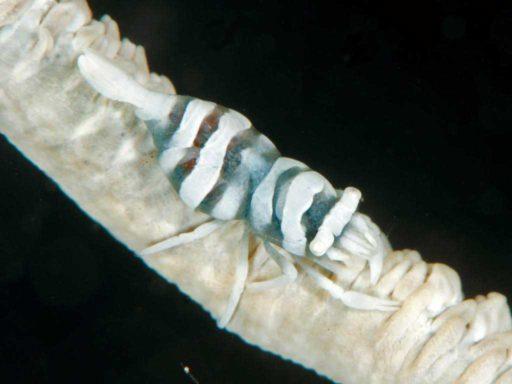 Whip Coral Shrimp、ムチカラマツエビ