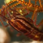 Striped Snapping Shrimp