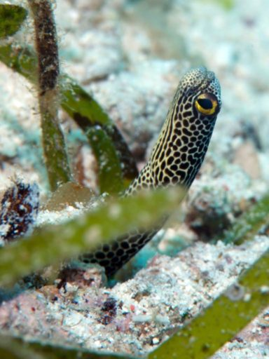 Spotted Gardem Eel