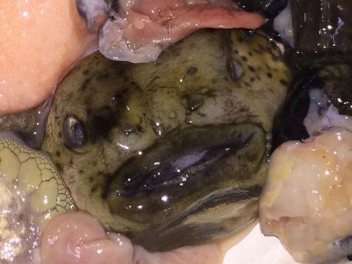 Smooth lumpfish、ごっこ(ホテイウオ)