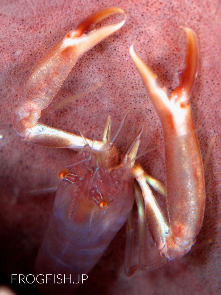 Commensal Sponge Shrim