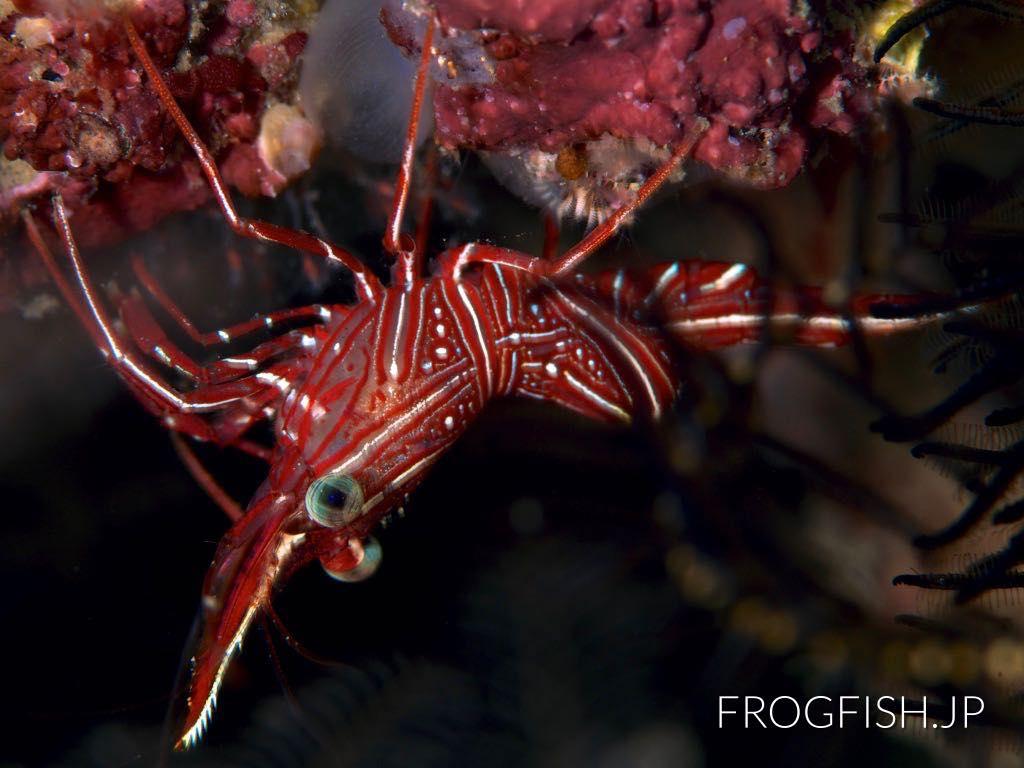 Bruce's Hinge-beak Shrimp