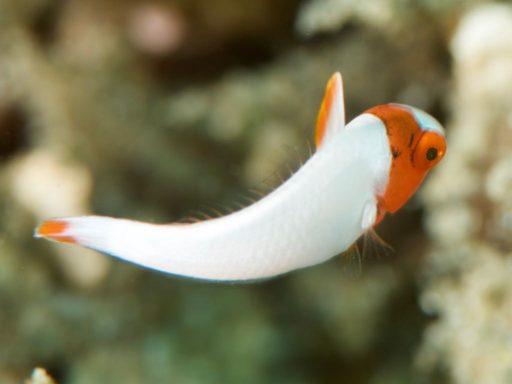 イロブダイの幼魚