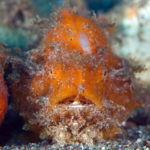 Decorated frogfish