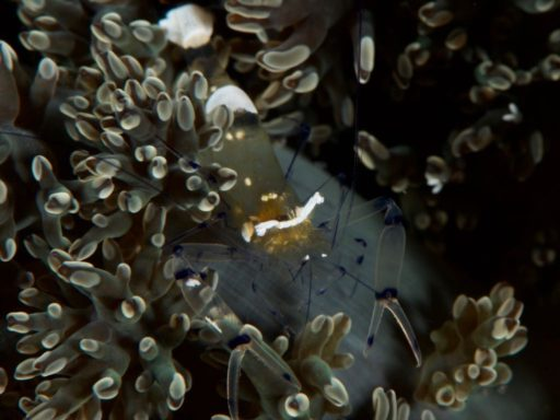 Peacock-tail Anemone Shrimp、イソギンチャクエビ