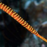 Orange-banded pipefish