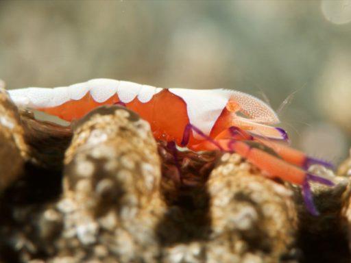 Emperor Shrimp、ウミウシカクレエビ
