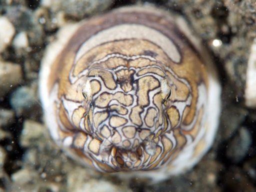 イレズミウミヘビ