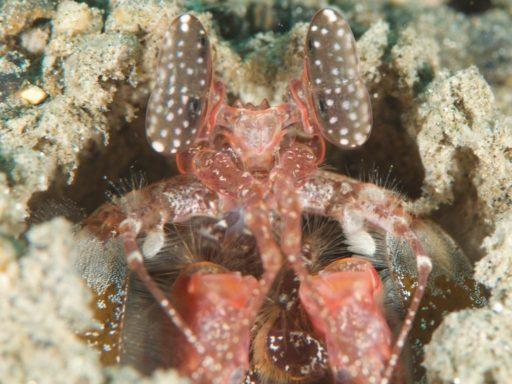 Mantis shrimp、シャコの仲間
