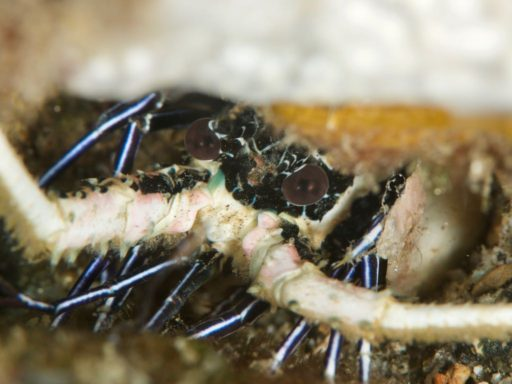 Painted Spiny Lobster、ゴシキエビ