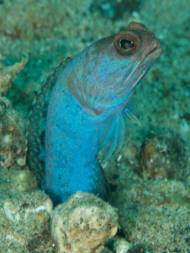 Jawfish、アゴアマダイの仲間