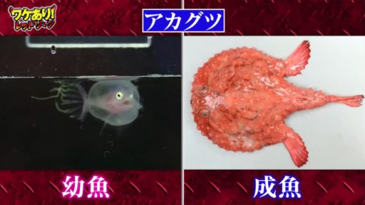 ワケあり!レッドゾーンのアカグツの幼魚